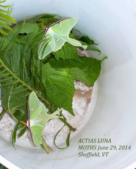 Luna Moths are Giant Silk Moths, Actias, which live after eclosing from their pupae only about 4-7 days.