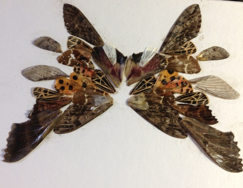 Moth Wing Picture -- Made from wings of moths found each morning in Vermont
