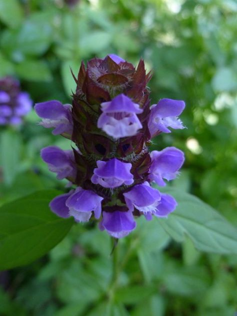 Self-Heal or Heal-all (My first wild flower and the one that changed everything)