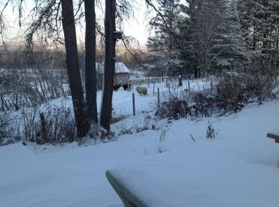 Mt Harmony Sheep in Snow November 2014