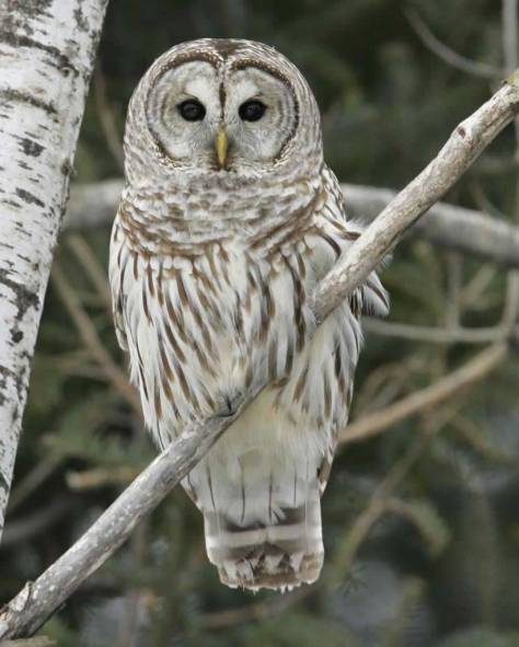 Audobon Field Guide Barred Owl